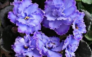Фиалка Голубой дракон — описание и характеристики сорта
