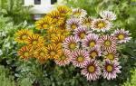 Цветок гацания — как цветет на клумбе, какой нужен грунт для выращивания