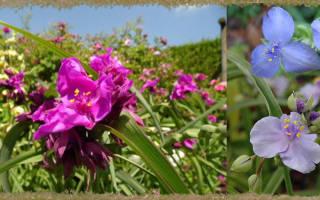 Традесканция садовая многолетняя — посадка и уход в открытом грунте