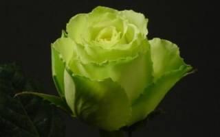 Зеленая роза — сортовое разнообразие, какие бывают