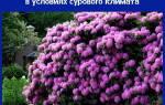 Рододендроны на Урале: уход и посадка