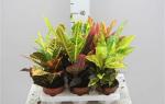 Разновидности цветка кодиеум кротон, его сорта