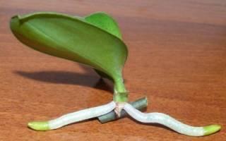 Как взять отросток у орхидеи: варианты пересадки и примеры в домашних условиях
