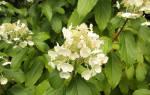 Гортензия Киушу (Kyushu) — описание сорта метельчатой гортензии