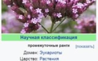 Вербена: посадка и уход за многолетними цветками