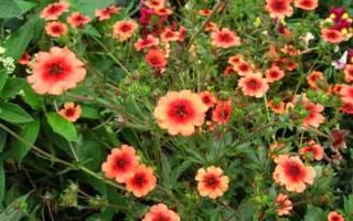 Лапчатка травянистая — посадка и уход