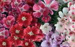 Цветок годеция — выращивание из семян в домашних условиях