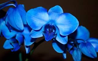 Синяя орхидея — описание, сорта, уход