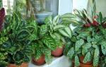 Цветок калатея — уход в домашних условиях