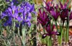 Ирис цветок — виды декоративных растений