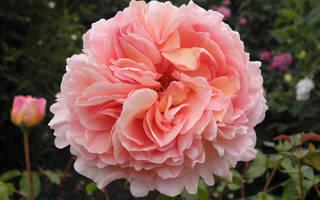 Роза Абрахам Дерби (Abraham Darby) — описание сортового цветка