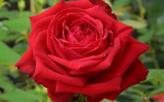 Роза Софи Лорен (Sophia Loren) — описание сортового куста