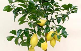 Как вырастить лимонное дерево из косточки в домашних условиях