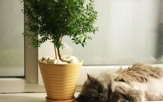 Комнатное растение мирт — уход в домашних условиях