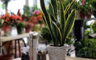 Цветок сансевиерия — виды и сорта, описание