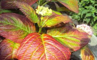 Почему у гортензии краснеют листья — что делать с растением