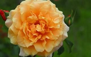 Роза Карамелла (Caramella)