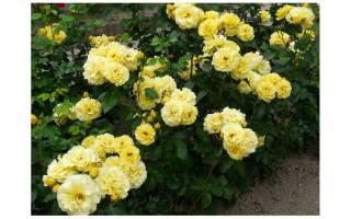 Роза Фрезия (Friesia) — как ухаживать за сортовым растением