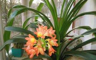 Почему кливия не цветет в домашних условиях — уход