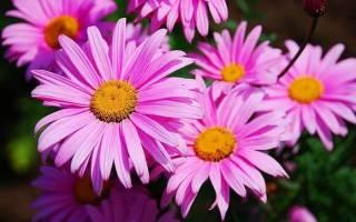 Пиретрум девичий — выращивание из семян
