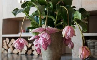 Мединилла — что за цветок, описание