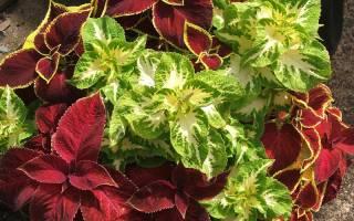 Колеус цветок — уход и выращивание в открытом грунте