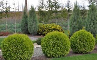 Туя — дерево, как выглядит, разновидности и сорта