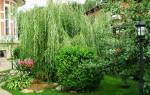 Лиственница плакучая и другие плакучие деревья для сада
