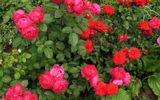 Роза Пиано (Piano) — что это за чайно-гибридная группа
