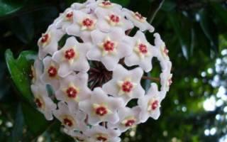 Как цветет хойя или комнатный восковой плющ