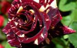 Роза Абракадабра (Abracadabra)