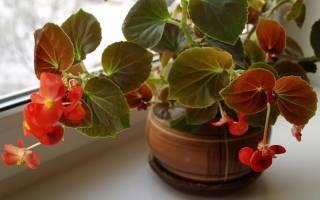 Цветок бегония — виды и популярные сорта