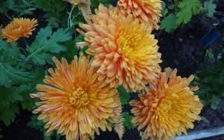 Хризантема кустовая низкорослая— как посадить и ухаживать