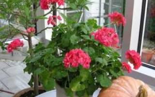 Как посадить герань — выращивание из черенков в домашних условиях