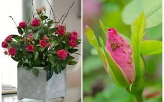Гусеницы на розах — чем обработать