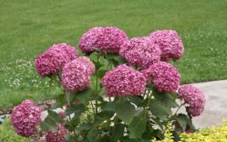 Гортензия Пинк Аннабель — описание сорта и его выращивание в открытом грунте