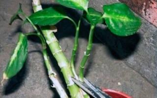 Диффенбахия — размножение в домашних условиях
