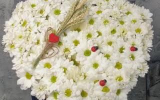 Хризантема ромашковая — что это за цветок