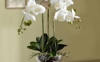 Сколько цветет орхидея — правила ухода