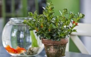 Нематантус — уход в домашних условиях за комнатным растением