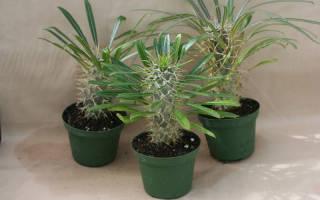 Пахиподиум Ламера — как посадить Мадагаскарскую пальму