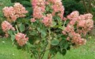 Гортензия Пинк Даймонд — описание сорта и его выращивание
