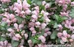 Растение яснотка — виды цветка, посадка и уход