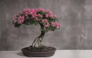 Миртовое дерево — уход в домашних условиях