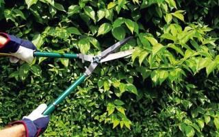 Обрезка барбариса — как сформировать