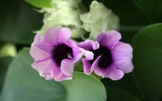 Роза Гавайская или Аргирея жилистая