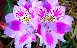 Альстромерия цветы