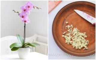Чесночная вода для орхидей — как применять