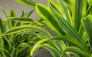 Почему у драцены опадают листья — причины
