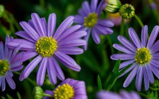 Брахикома иберисолистная — описание растения